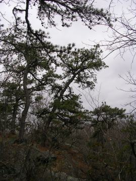 Gnarled pines on ledge at Devil's Den, Weston CT