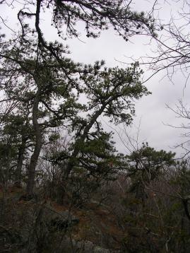 Gnarled pines on ledge at Devil's Den, Weston CT
