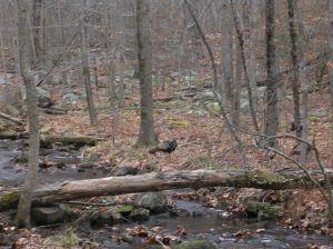 Wild turkies cross Sap Brook, Devil's Den, Weston CT