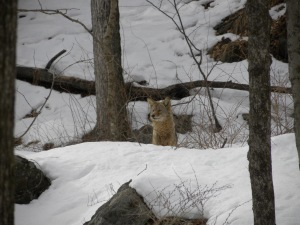 Coyote, Aspetuck River, Redding CT