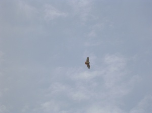Red-tailed hawk above the 'wasteland'