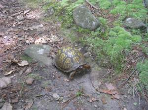 Our Eastern Box Turtle