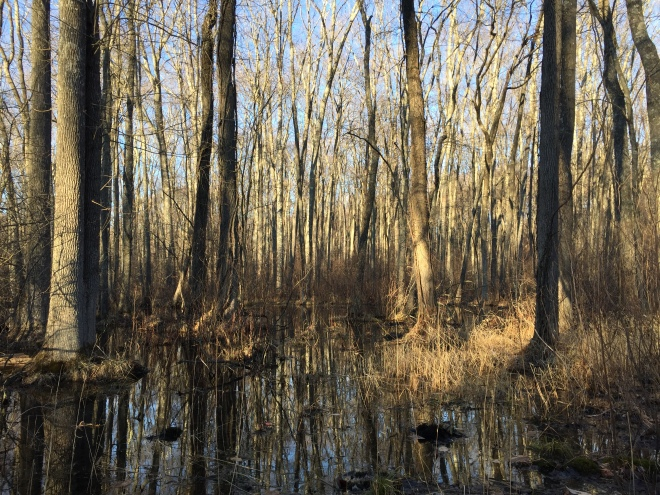 Late afternoon swamp, Zofnass Family Preserve
