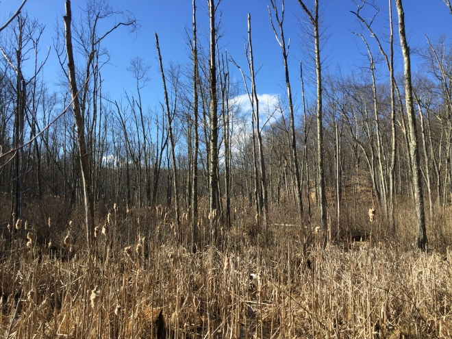 Swamp-edge cattails beside the Eastern Loop