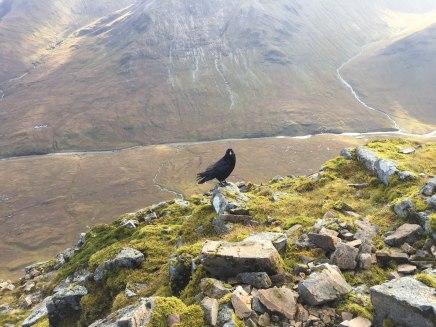 Large crow on Stob Dearg—climber sandwiches?