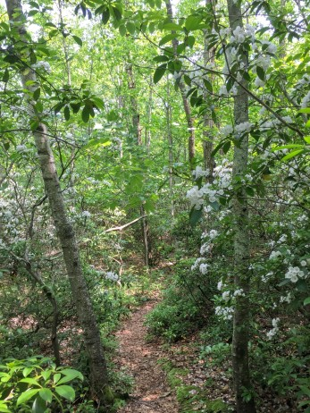 West side—Mountain laurel
