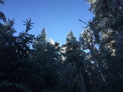 Rime ice in the treetops