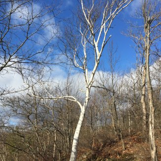 Birch tree in sunshine, north end Canopus Lake