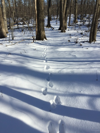 Animal tracks, likely coyote